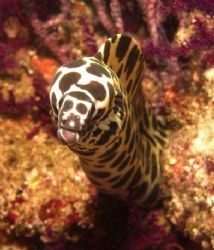 Honeycomb Moray. Musandam, Oman by Nicky Bowker 